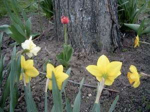 Gathered Round the Tulip