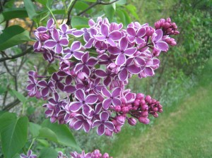 More Lilacs in Bloom