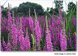 Purple Loosestrife (Caroline Savage, Saint Lawrence Centre)