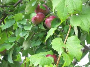 Apples High