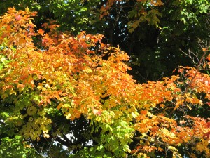 Maple Aglow