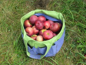 More Apples From Shelburne Orchard