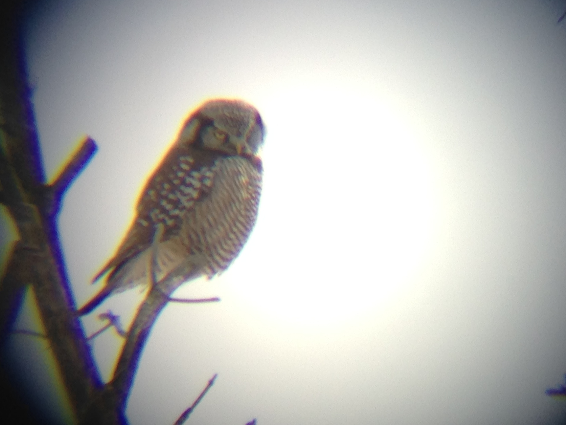 Northern Hawk Owl in Waterbury