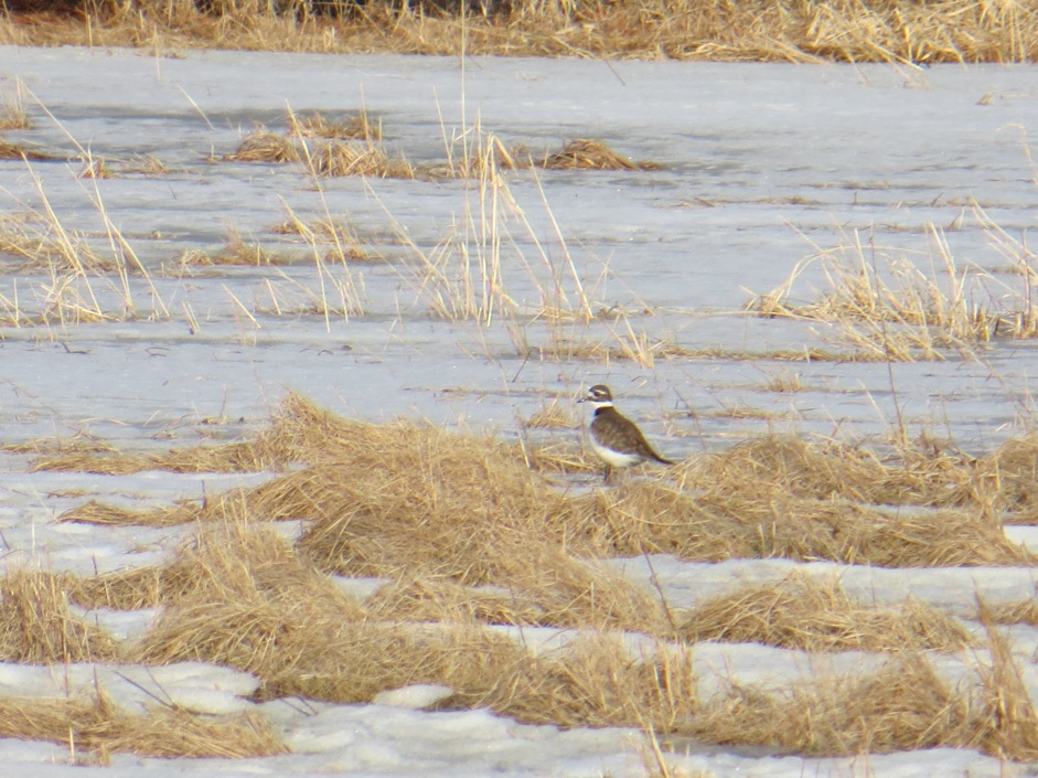 Killdeer here early