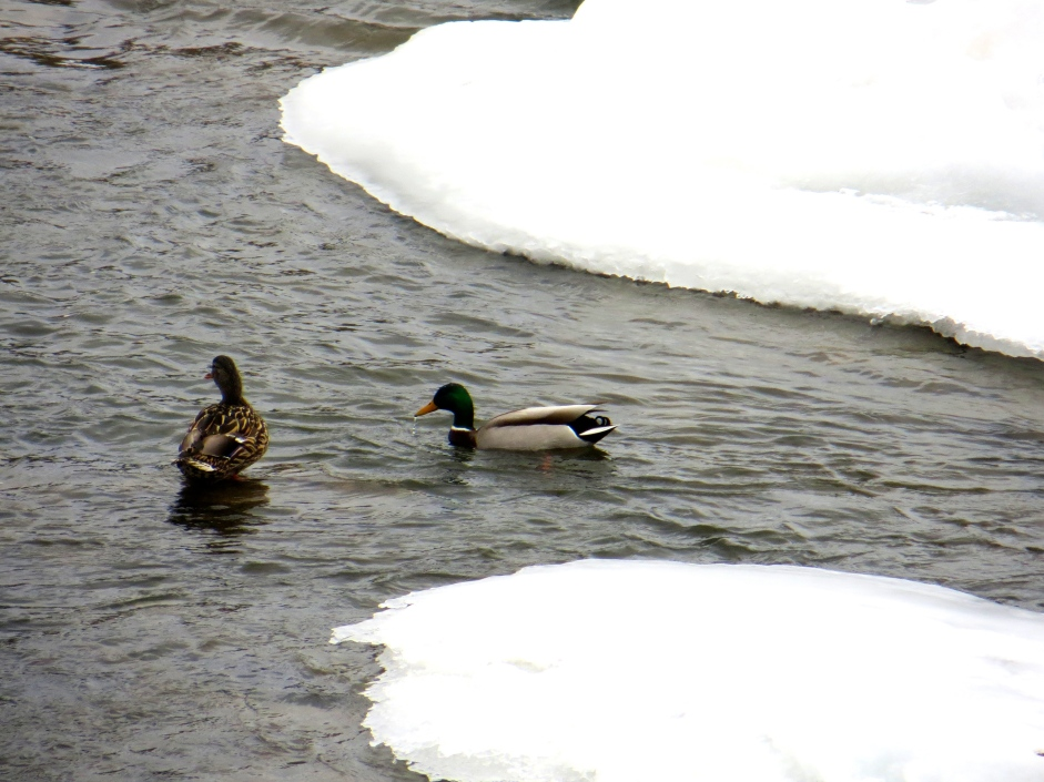 Mallards on the Winooski River