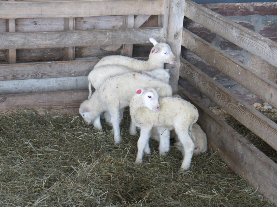 Are these lambs the cutest critters around or what?