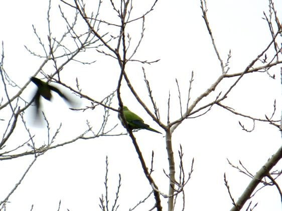 The best photo of the Monk Parakeets I could get by the time I pulled out the camera