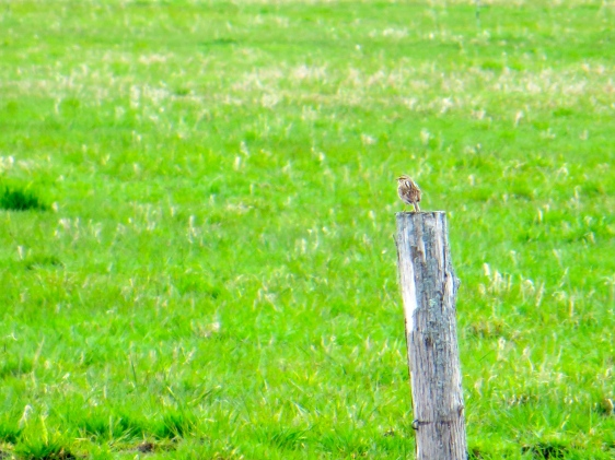 Savannah Sparrow enjoying the spring day