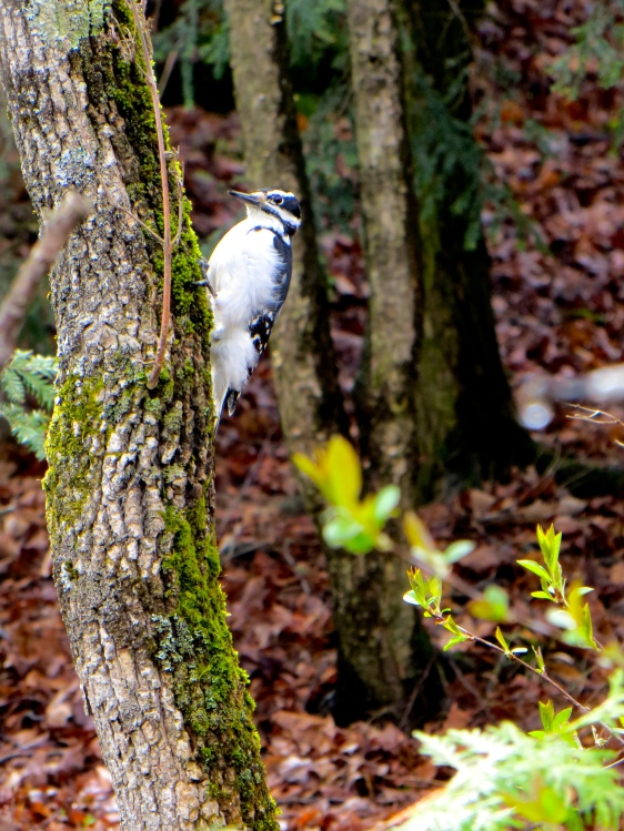 Hairy Woodpecker in the woods today