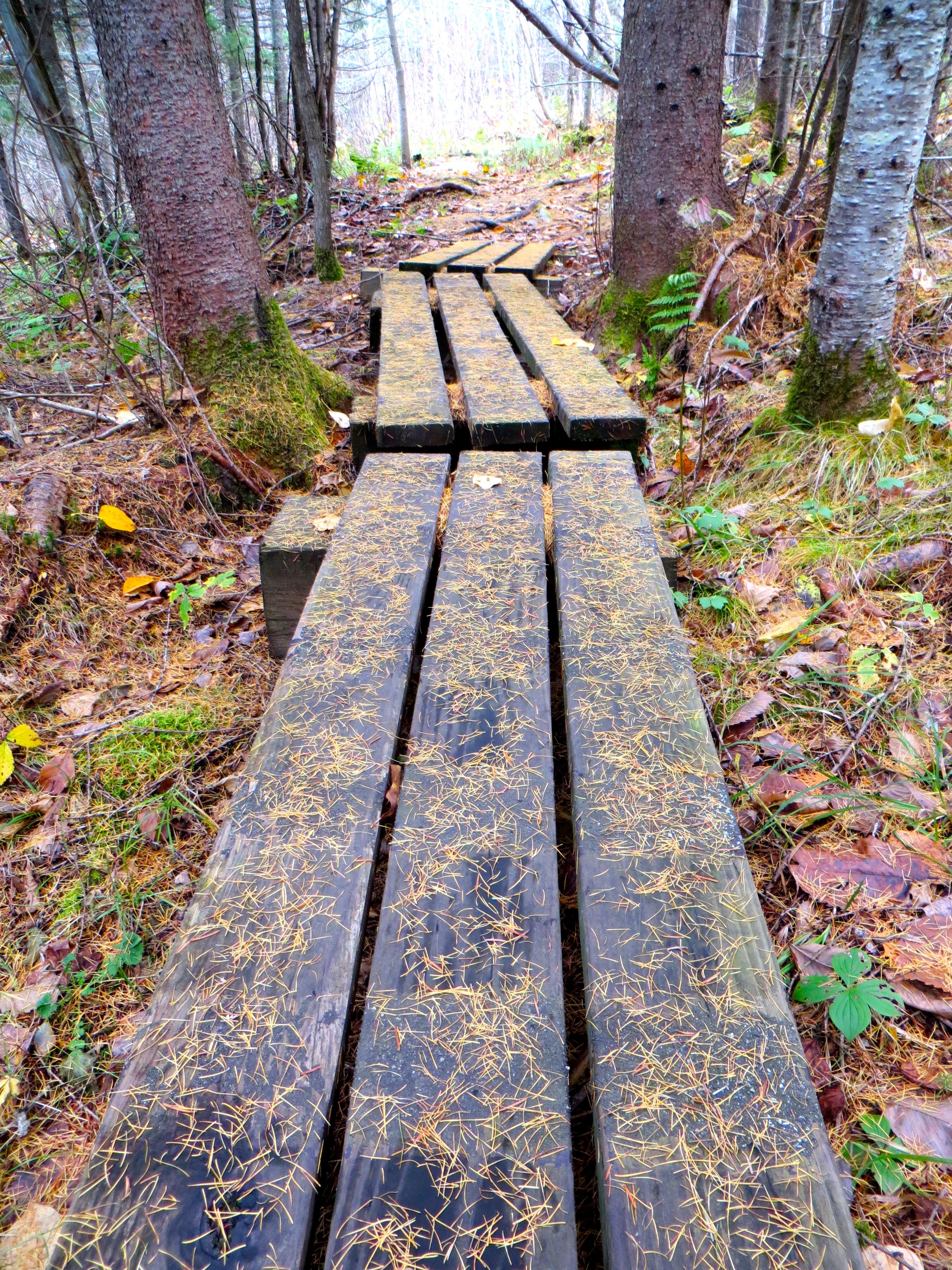 Tamarack needles on the trail