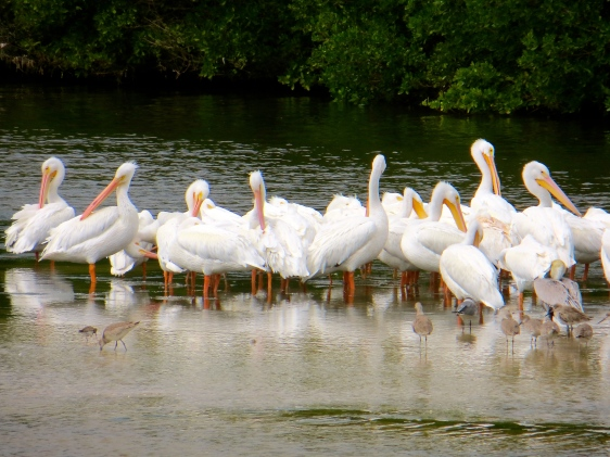 White Pelicans at the refuge