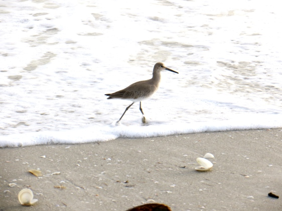 Willets were plentiful--I saw hundreds of them