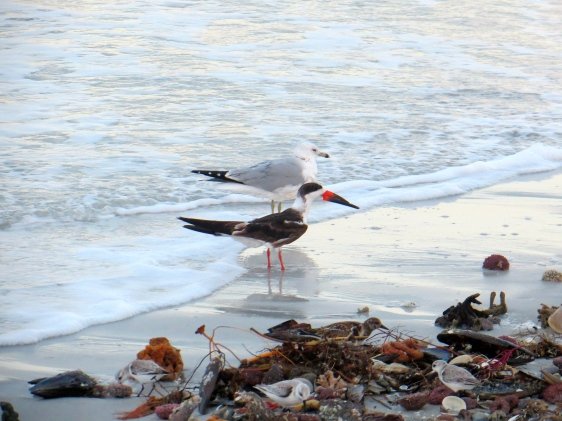 Black Skimmer landed on the beach one morning; I saw over a hundred that day