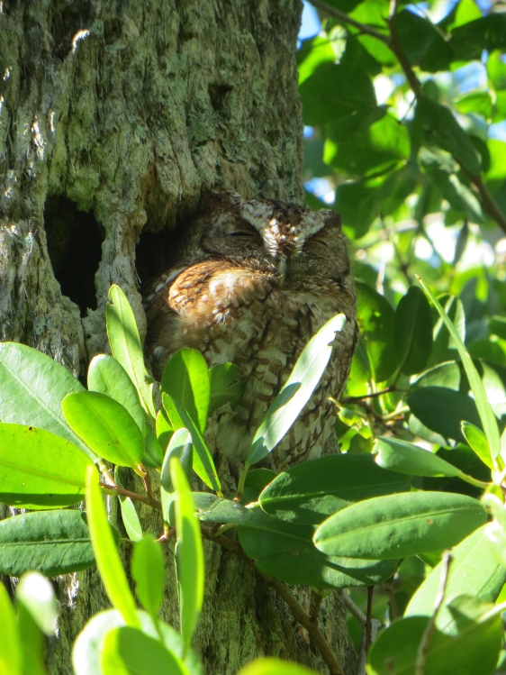 A trip highlight: Eastern Screech-Owl in plan sight. My family all got to see it as well.