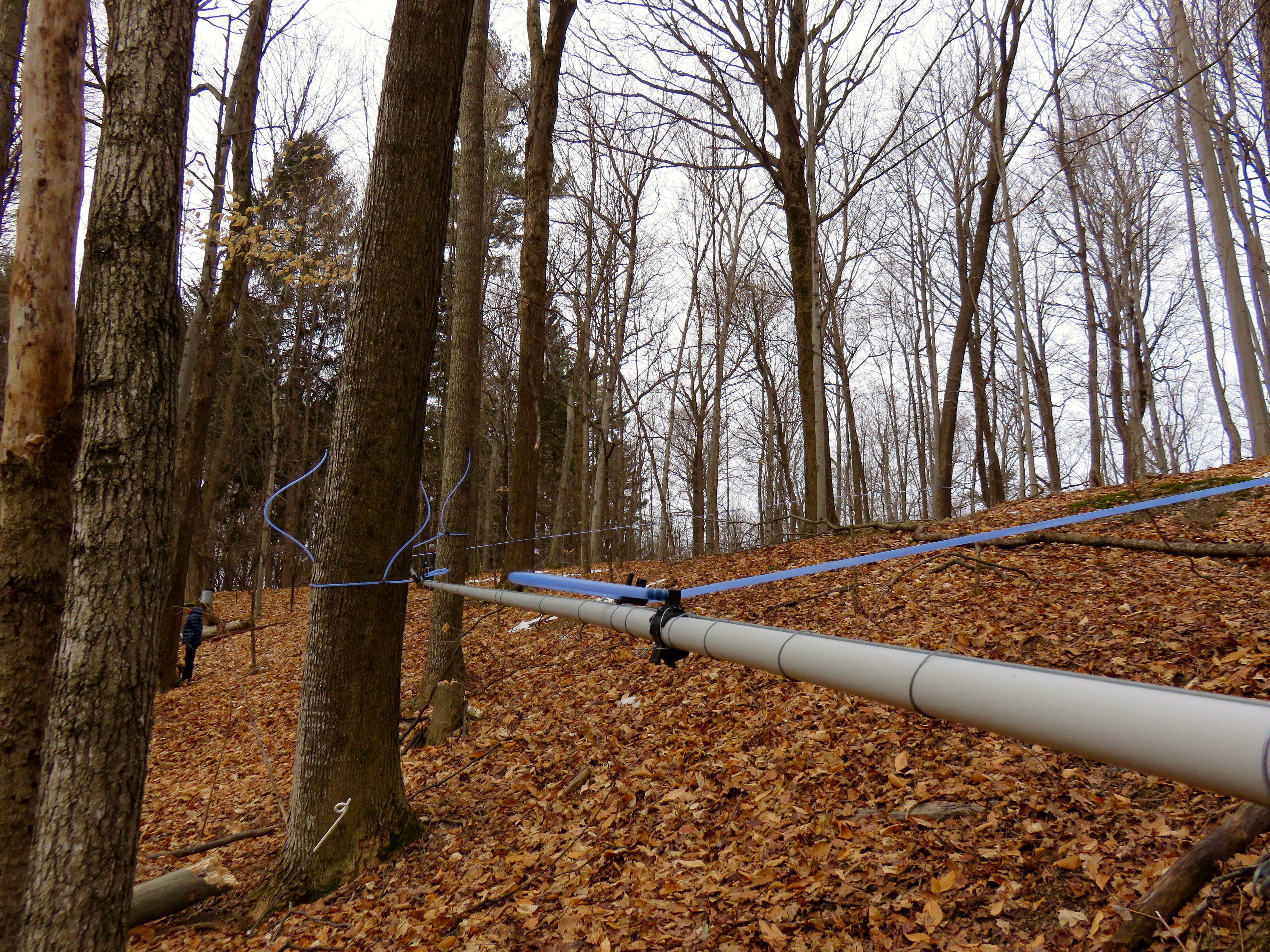 Sap lines running downhill but mostly frozen