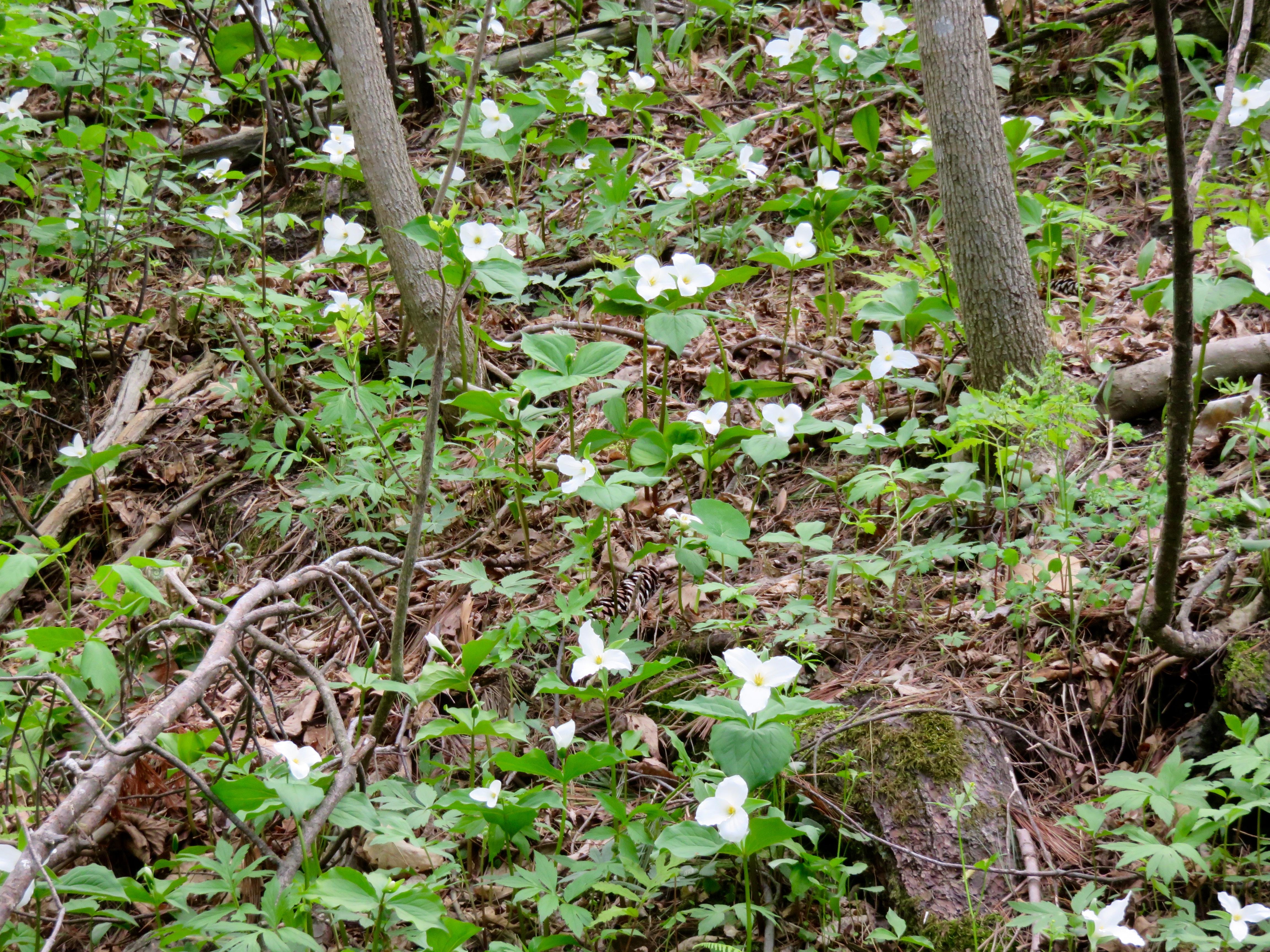Trillium, Woodside Park, Colchester