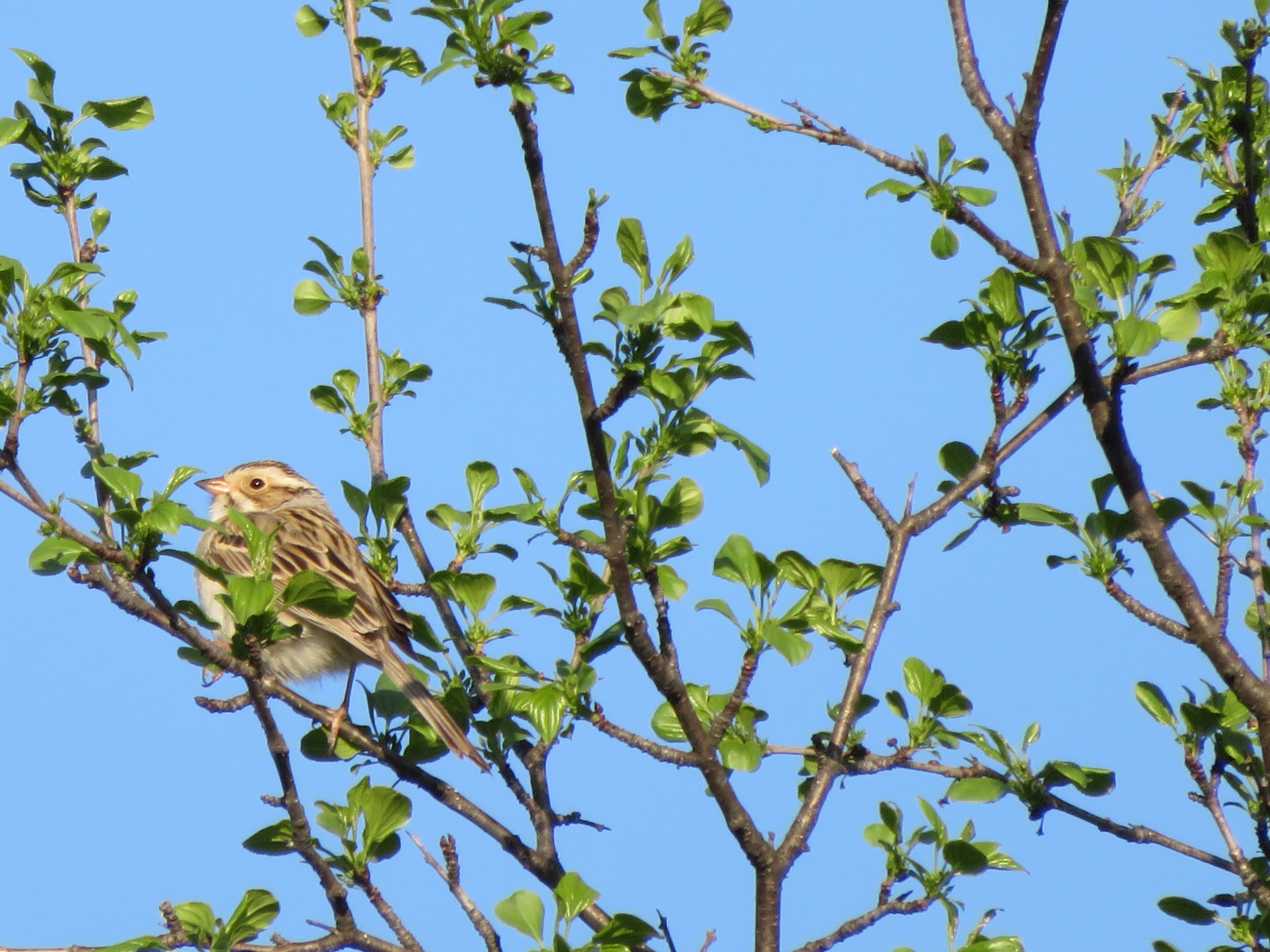 Clay-Colord Sparrow, a lifer for me, right in Hinesburg