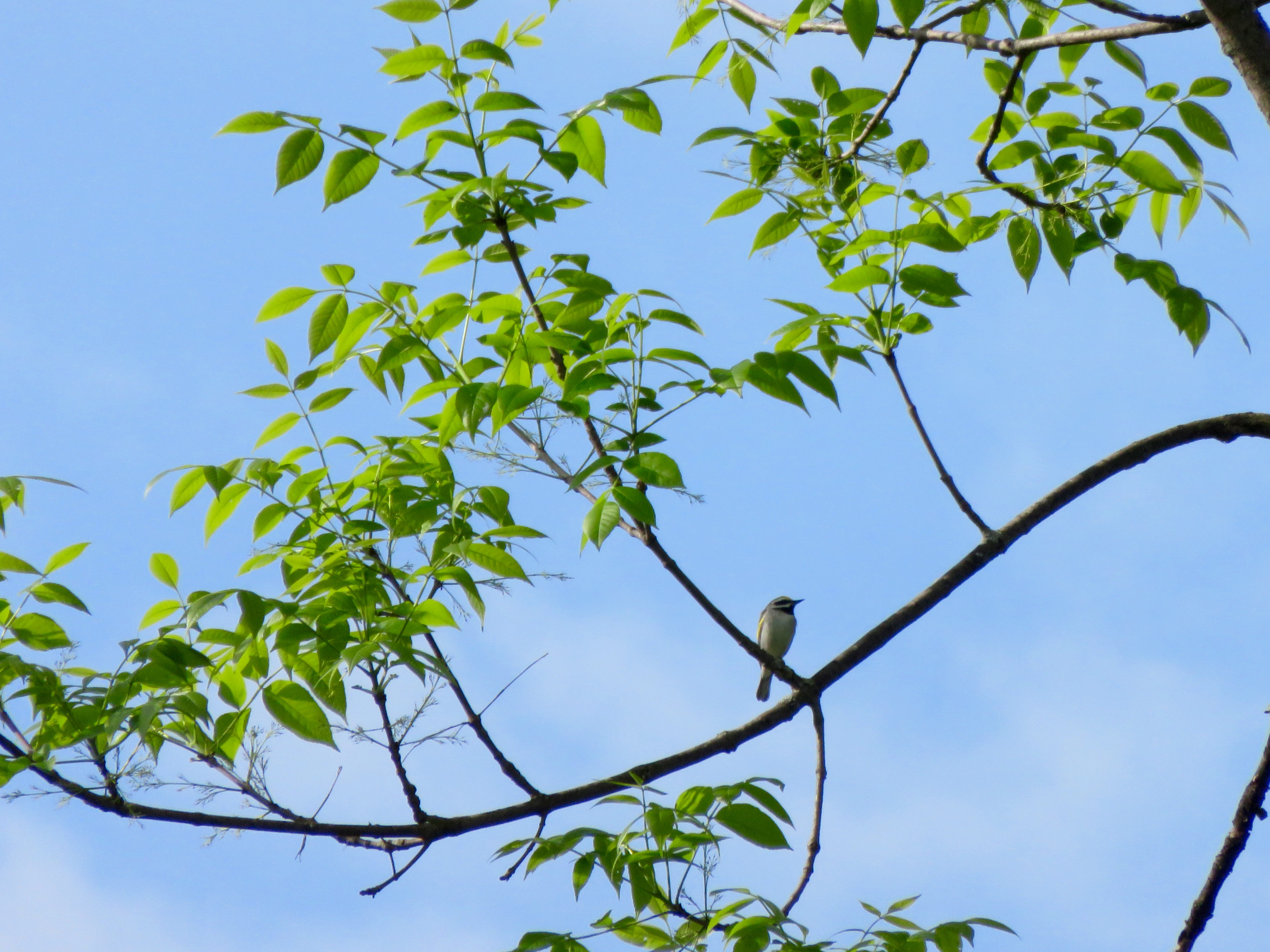 Golden-Winged Warbler welcoming the day with its buzzy song
