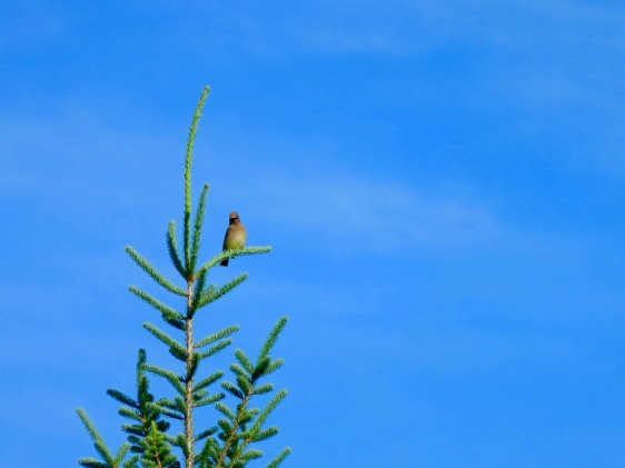 Cedar Waxwing, not hiding at all